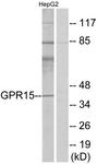 G324-1 - GPR15