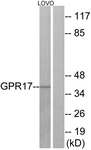 G325-1 - GPR17