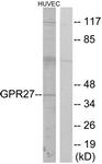 G333-1 - GPR27 / SREB1