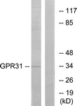 G334-1 - GPR31