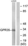 G338-1 - GPR35