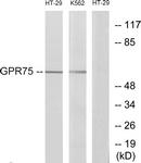 G351-1 - GPR75