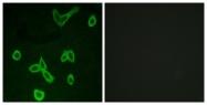 G372-1 - Histamine H4 receptor