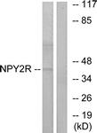 G410-1 - NPY receptor 2 / NPY2R