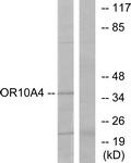 G415-1 - Olfactory receptor 10A4