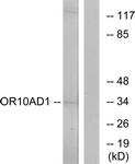 G416-1 - Olfactory receptor 10AD1