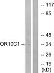 G418-1 - Olfactory receptor 10C1