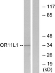 G424-1 - Olfactory receptor 11L1