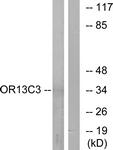 G425-1 - Olfactory receptor 13C3