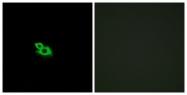 G431-1 - Olfactory receptor 2A1/2A42