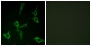 G432-1 - Olfactory receptor 2AG1/2AG2