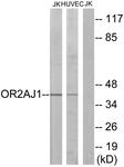 G433-1 - Olfactory receptor 2AJ1