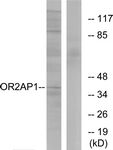 G435-1 - Olfactory receptor 2AP1