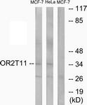 G437-1 - Olfactory receptor 2T11