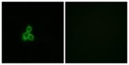 G439-1 - Olfactory receptor 2T2/2T35
