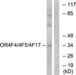 G444-1 - Olfactory receptor 4F4/4F5/4F17