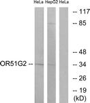 G448-1 - Olfactory receptor 51G2
