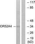 G456-1 - Olfactory receptor 52A4