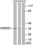 G460-1 - Olfactory receptor 52E1