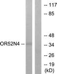 G465-1 - Olfactory receptor 52N4