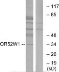G466-1 - Olfactory receptor 52W1