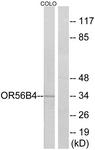 G470-1 - Olfactory receptor 56B4