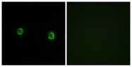 G474-1 - Olfactory receptor 5AS1