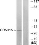 G479-1 - Olfactory receptor 5H15