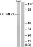 G484-1 - OLFML2A