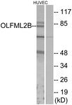 G485-1 - OLFML2B