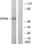 G488-1 - Melanopsin