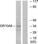 G497-1 - Olfactory receptor 10A6