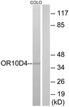G498-1 - Olfactory receptor 10D4