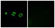 G499-1 - Olfactory receptor 10G6