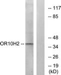 G500-1 - Olfactory receptor 10H2