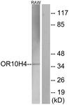 G501-1 - Olfactory receptor 10H4