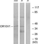 G506-1 - Olfactory receptor 10V1
