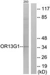 G511-1 - Olfactory receptor 13G1