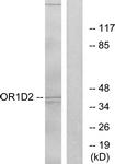 G516-1 - Olfactory receptor 1D2