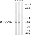 G534-1 - Olfactory receptor 1S1/1S2
