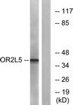 G556-1 - Olfactory receptor 2L5