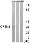 G560-1 - Olfactory receptor 2M2