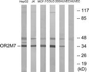G563-1 - Olfactory receptor 2M7