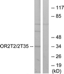 G566-1 - Olfactory receptor 2T2/2T35