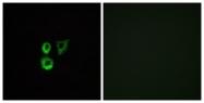 G568-1 - Olfactory receptor 2T3/2T34