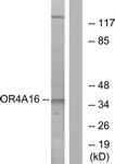 G580-1 - Olfactory receptor 4A16
