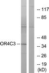 G584-1 - Olfactory receptor 4C3