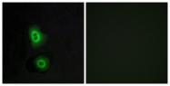 G590-1 - Olfactory receptor 4C16