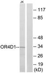 G591-1 - Olfactory receptor 4D1