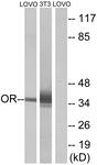 G594-1 - Olfactory receptor 4D6